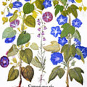 Bluebell And Morning Glory Poster