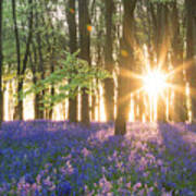 Bluebell Dawn Poster
