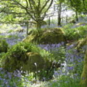 Bluebells On Dartmoor Poster