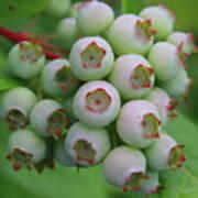 Blueberries On The Vine 9 Poster