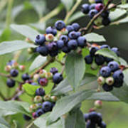 Blueberry Bounty Poster