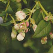 Blueberry Bush Poster