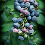 Blueberry Cluster Poster