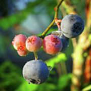 Blueberry Morning Poster