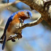 Bluebird Curiousity Poster