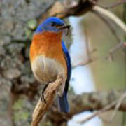 Bluebird Dad Poster