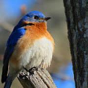 Bluebird Evening Poster