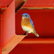 Bluebird On Red Poster