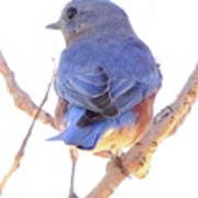 Bluebird On White Poster