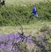 Bluebird Pair In Blickleton Poster