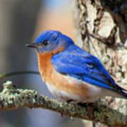 Bluebird Vibrance Poster