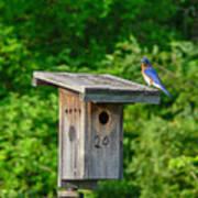 Bluebird With Grub Poster