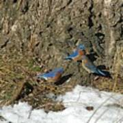 Bluebirds In Spring Poster