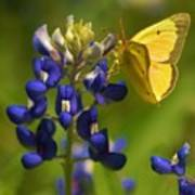 Bluebonnet And Butterfly Poster