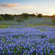 Bluebonnet Sunrise And A Windmill In Texas 1 Poster