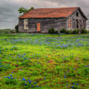 Bluebonnets And Abandoned Farm House Poster