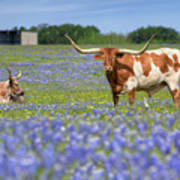 Bluebonnets And Longhorns 4 Poster