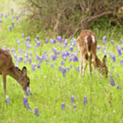 Bluebonnets And Whitetails Poster