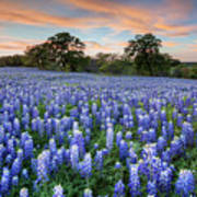 Bluebonnets On A Spring Evening 403-1 Poster