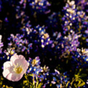 Bluebonnets With Buttercup Poster