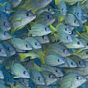 Bluestripe Snapper Poster