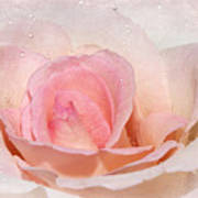 Blush Pink Dewy Rose Poster
