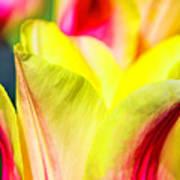 Blushing Lady Tulips Poster