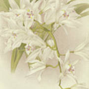 Boat Orchid  Cymbidium Poster