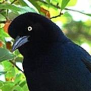 Boat Tailed Grackle Close Up Poster