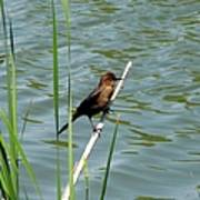 Boat Tailed Grackle Female Poster