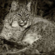 Bobcat In Black And White Poster
