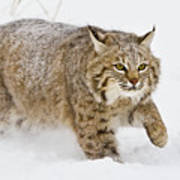 Bobcat In Snow Poster