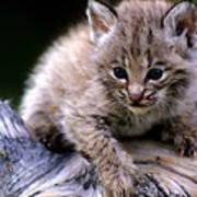 Bobcat Kitten Poster