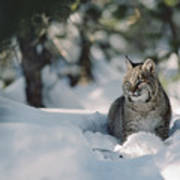 Bobcat Lynx Rufus Adult Resting In Snow Poster by Michael Quinton