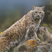 Bobcat Mother And Kittens North America Poster