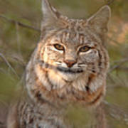 Bobcat Portrait Surrounded By Pine Poster