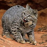 Bobcat Ready--and Willin' Poster