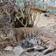 Bobcat Resting Poster