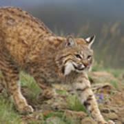 Bobcat Stalking North America Poster by Tim Fitzharris