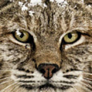 Bobcat Whiskers Poster