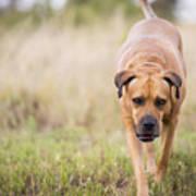 Boerboel Dog Poster