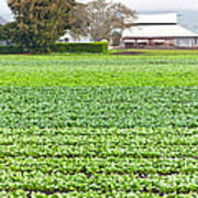 Bok Choy Field And Farm Poster