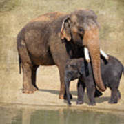 Bonding - Asian Elephants Houston Zoo Poster