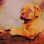 Bordeaux Mastiff Pup Poster