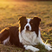 Border Collie At Sunset With Warm Colors Poster