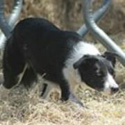 Border Collie At Work Poster