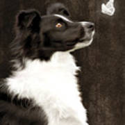 Border Collie Dog Watching Butterfly Poster