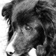 Border Collie In Pencil Poster by Smilin Eyes  Treasures