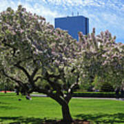 Boston Public Garden Spring Tree Boston Ma Poster
