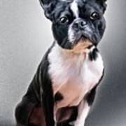 Boston Terrier By Spano Poster
